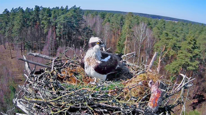 Webcam at the osprey nest in Napiwodzko-Ramucka Forest, Poland