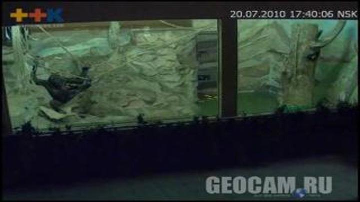 Веб-камера в вольере орангутанов