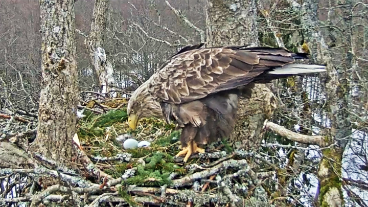Webcam at the white-tailed eagle's nest, Kurzeme, Latvia
