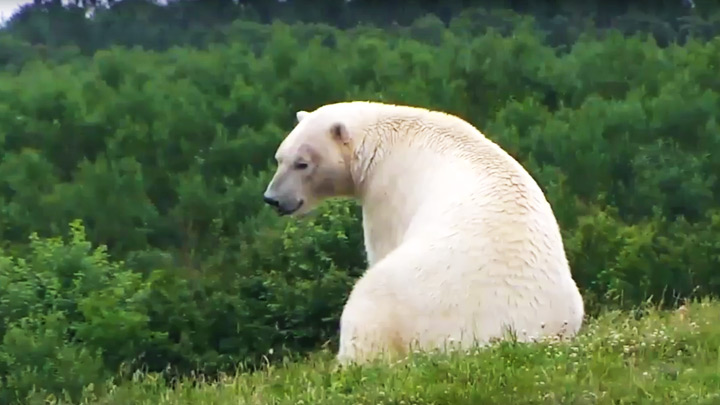Webcam in the aviary of polar bears in Denmark: Polar bear