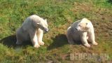 Webcam in the aviary of polar bears in Denmark