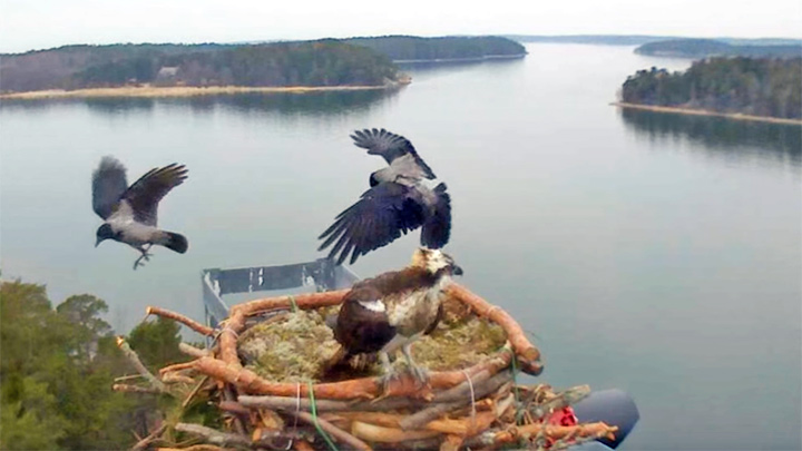 Seili osprey webcam: crows attack the nest of the osprey