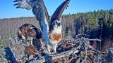 Webcam in osprey nest in Estonia