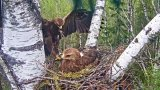 Webcam at the spotted eagle's nest, Estonia