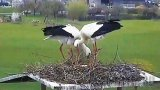 Webcam at the nests of storks in Sontheim an der Brenz municipality